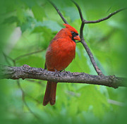Tree Creature Prints - Cardinal in Tree Print by Sandy Keeton
