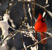 Red Bird In Snow Framed Prints - Cardinal In Winter 2 Framed Print by John Harding Photography