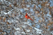 Cim Paddock Metal Prints - Cardinal in winter Metal Print by Cim Paddock