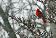 Flurries Posters - Cardinal in Winter Poster by Karen Adams
