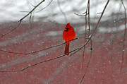 Olivia Hardwicke - Cardinal in Winter