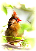 Travis Truelove Photography Prints - Cardinal - Lady in Green - Bird Print by Travis Truelove