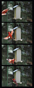 Richelieu Prints - Cardinal Landing 4 Panel Vertical Bird Feeder Print by Thomas Woolworth