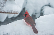 New England Posters - Cardinal looking for dinner Poster by Jeff Folger