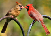Mates Framed Prints - Cardinal Love Framed Print by Kristin Elmquist