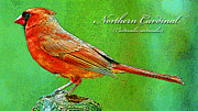 A Gurmankin - Cardinal Male Animal...