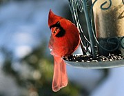 John Dart - Cardinal Male at Feeder