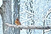 Cardinal No Mate To Keep Warm Print by Randall Branham