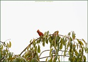 Acrylicprint Posters - Cardinal on a branch Poster by Sonali Gangane