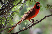Michael Moriarty - Cardinal on branch in...