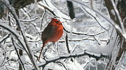 Cardinal Pyrography Prints - Cardinal on Ice Print by William Stewart