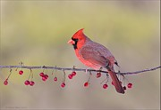 Behm Framed Prints - Cardinal on Red Berries Framed Print by Daniel Behm