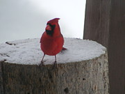 Cardinal Pyrography - Cardinal on Stump by Susan Russo