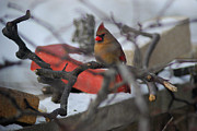 Wanda Jesfield - Cardinal Out on a Limb