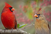 Red Birds Posters - Cardinal Pair Poster by Bonnie Barry