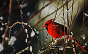 Cardinal In Snow Framed Prints - Cardinal Red Framed Print by John Harding Photography