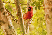 Red Cardinal Framed Prints - Cardinal Rules Framed Print by Lois Bryan