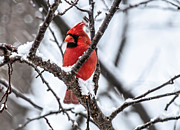 Winter Scene Photo Prints - Cardinal Snow Scene Print by Lara Ellis