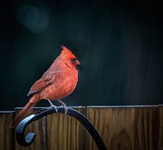 Susan Edens - Cardinal Weathering the...
