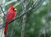 Animal Digital Art Prints - Cardinal West Print by Jeff Kolker