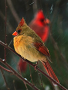 Cardinals In Snow Prints - Cardinals In A Storm.  Print by John Harding Photography