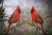 Male Cardinals Posters - Cardinals in Bottlebrush Poster by Bonnie Barry