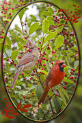 Female Northern Cardinal Posters - Cardinals in Holly Poster by Bonnie Barry