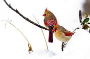 Randall Branham - Cardinals Sunny Winter Spot