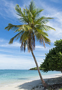 Coconut Palms Prints - Caribbean Blues Print by Betty LaRue