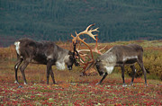 Bulls Posters - Caribou Males Sparring Poster by Matthias Breiter