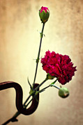 Background Photos - Carnation by Carlos Caetano