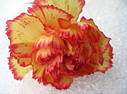Phachesnie Studio - Carnation Ice