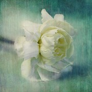 Turquoise Metal Prints - Carnation Metal Print by Priska Wettstein