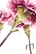 Decor.pink.green Flowers Posters - Carnations Poster by Priska Wettstein