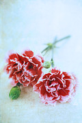 Indoor Still Life Photos - Carnations by Stephanie Frey