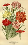 Flora Drawings Prints - Carnations Print by Unknown