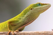 Lorri Crossno Framed Prints - Carolina anole Framed Print by Lorri Crossno