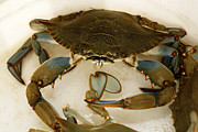South Carolina Prints - Carolina Blue Crab Print by Marilyn Hunt