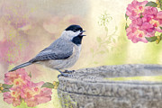 Birdbath Posters - Carolina Chickadee in Camellia Garden Poster by Bonnie Barry