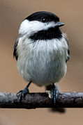 Smokey Mountains Paintings - Carolina Chickadee by John Haldane