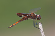 Animalia Posters - Carolina Saddlebags Dragonfly I Poster by Clarence Holmes