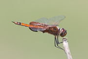 Dragonflies Art - Carolina Saddlebags Dragonfly II by Clarence Holmes