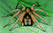 Carolina Wolf Spider Print by Millard H. Sharp
