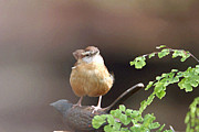 Bob Richter - Carolina Wren