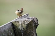 Wren Posters - Carolina Wren Poster by Heather Applegate
