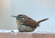 Tammy Franck - Carolina Wren