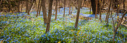 Early Flowers Posters - Carpet of blue flowers in spring forest Poster by Elena Elisseeva