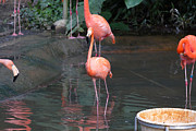 Tourist Attraction Digital Art - Cartoon - A Flamingo in the small lake in their exhibit in the Jurong Bird Park by Ashish Agarwal