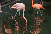 Tourist Attraction Digital Art - Cartoon - A Flamingo with its head under water in the Jurong Bird Park by Ashish Agarwal