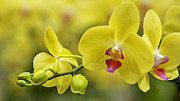Spa Wall Decor Prints - Cascade of Yellow Orchids Print by Julie Palencia